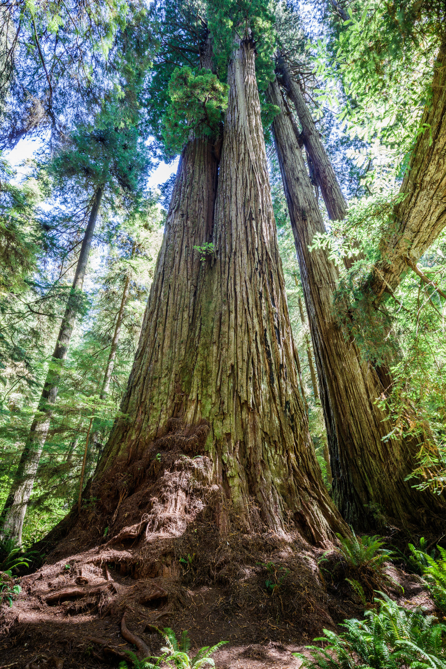 Massive redwood in the Grove of Titans