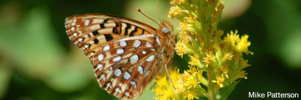 Close Up of Oregon Silverspot Butterfly feeding on a native plant. Photo by Mike Patterson, US Fish and Wildlife