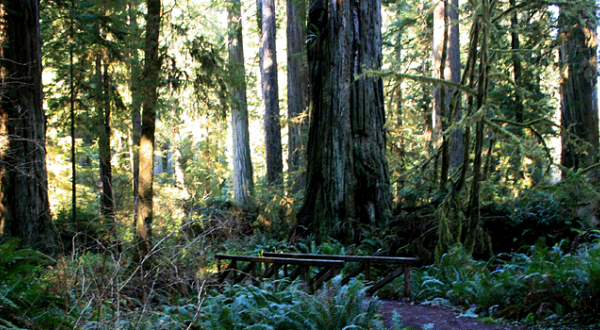 Some of the redwoods and other trees on the Cathedral Trees trail in Prairie Creek Redwoods State Park