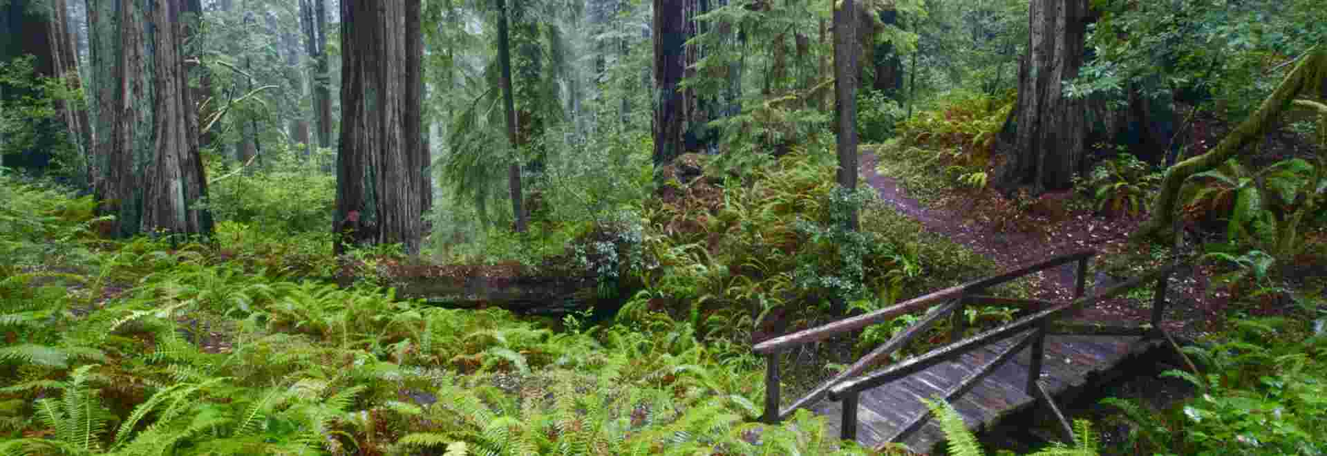 Jedediah Smith Redwoods State Park, a trail meandering through the Redwoods.