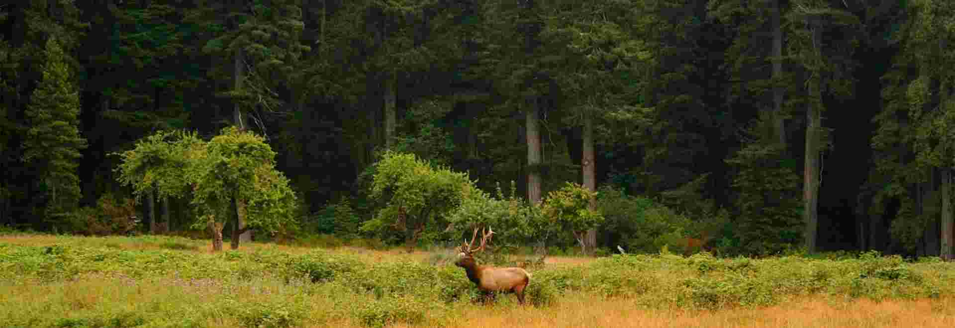 Bull Roosevelt Elk wandering in the Elk Prairie at Prairie Creek Redwoods State Park