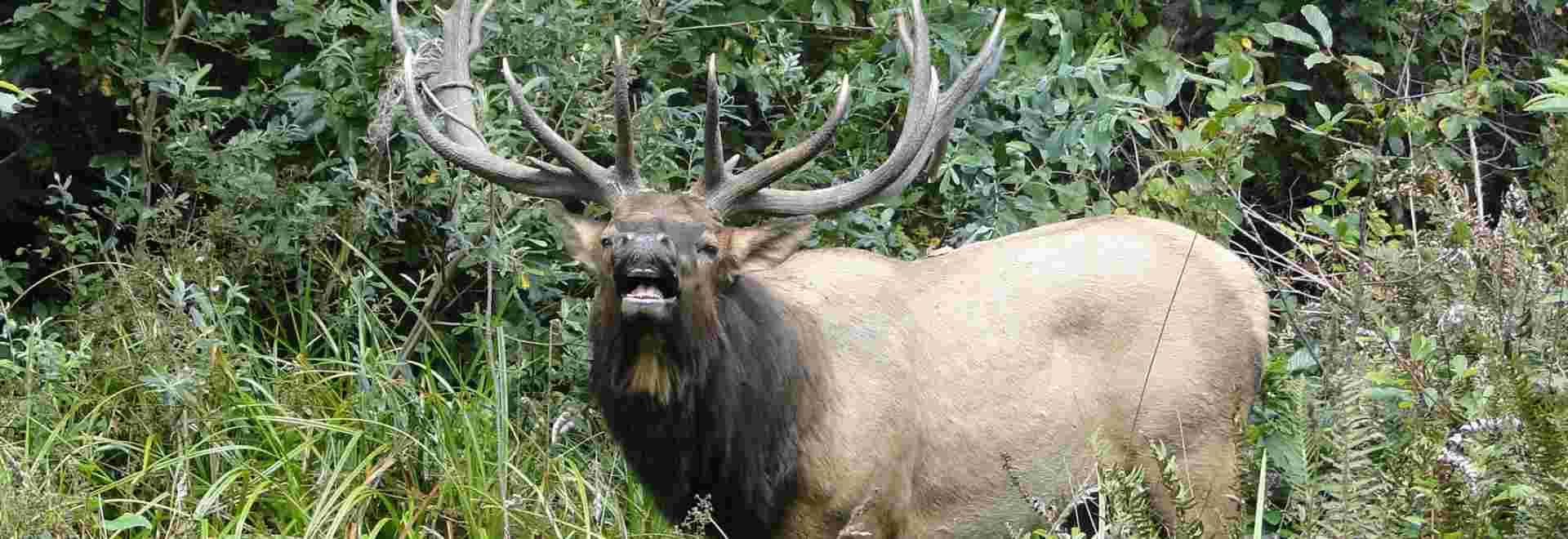 Bull Roosevelt Elk bugling