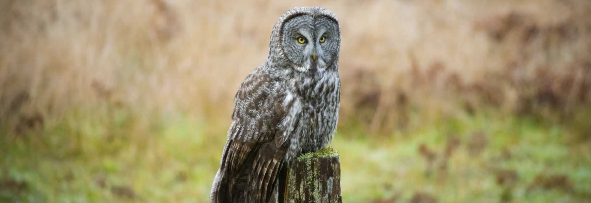 Great Grey owl visiting Prairie Creek Redwoods State Park