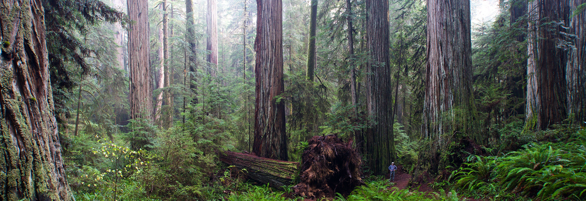Redwoods and hiker in Jedediah Smith Redwoods State Park
