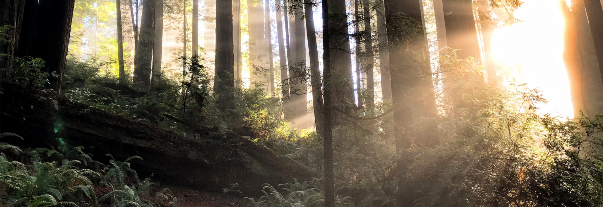 Sun through redwoods