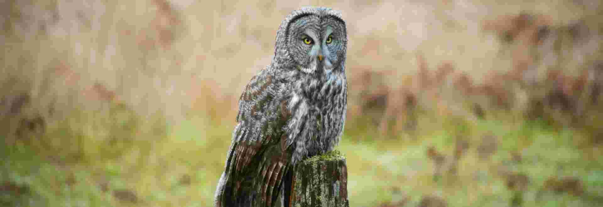Great Grey Owl visiting Prairie Creek Redwoods