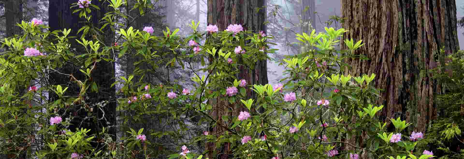 Rhododendrons at Jedediah Smith Redwoods State Park