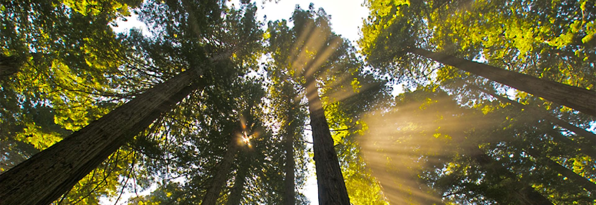 Sunlight filtering through the Redwoods